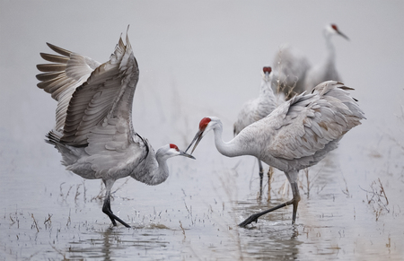 Sandhill Cranes (Grus canadensis) displaying and dancing at dawn - Bosque del Apache National Wildlife Refuge, New Mexico Stok Fotoğraf