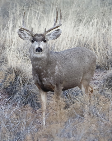 Male Mule Deer (Odocoileus hemionus) with antlers damaged from fighting - Bosque del Apache NWR, New Mexico Stock Photo