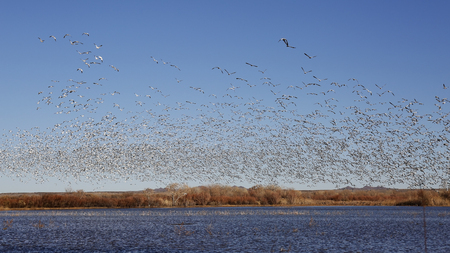 Flock of Snow Geese (Chen caerulescens) taking flight from a pond in winter - Bosque del Apache NWR, New Mexico