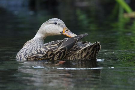 Female Mottled Duck (Anas fulvigula) preening her feathers on a Florida river Imagens