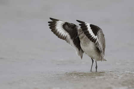 A Willet (Tringa semipalmata) flaps its wings to dry them after bathing in the Gulfof Mexico- Florida