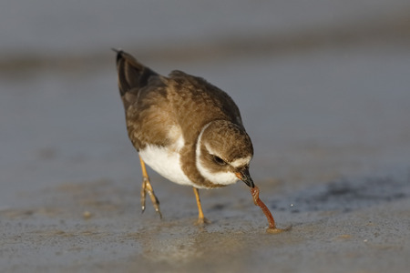 Semipalmated Plover (Charadrius semipalmatus) extracting a worm from the sand on a Gulf of Mexico beach - Florida