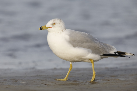 Ring-billed Gull (Larus delawarensis) foraging on a Gulf of Mexico beach - Florida