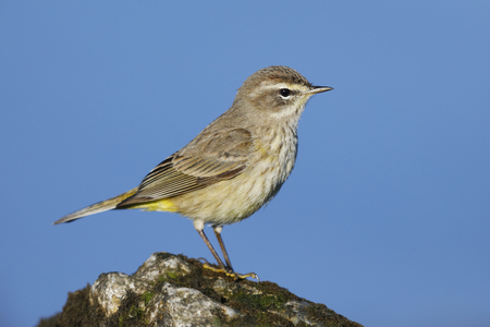 Palm Warbler (Setophaga palmarum) perched on a rock next to the Gulf of Mexico - Florida