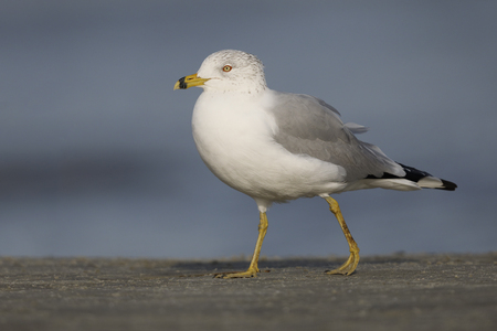 Ring-billed Gull (Larus delawarensis) foraging on a beach - Jekyll Island, Georgia
