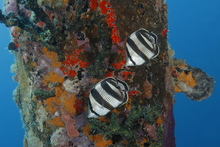 Pair of Banded Butterflyfish (Chaetodon striatus) next to a dock piling - Bonaire