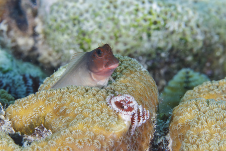 Redlip Blenny (Ophioblennius atlanticus) peering out from behind a coral head - Bonaire