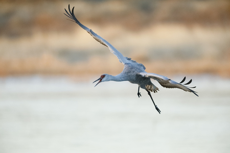 Sandhill Crane (Grus canadensis) approaching for a landing - Bosque del Apache National Wildlife Refuge, New Mexico