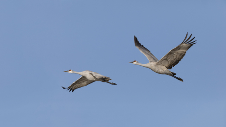 Sandhill Cranes (Grus canadensis) in flight - Bosque del Apache National Wildlife Refuge, New Mexico 写真素材