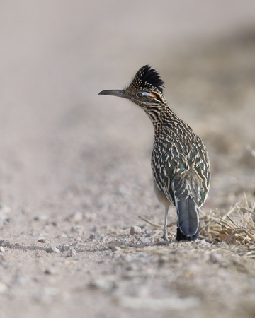 Greater Roadrunner (Geococcyx californianus) - Bosque del Apache National Wildlife Refuge, New Mexico