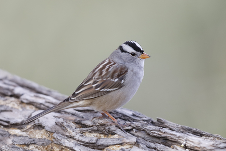 White-crowned Sparrow (Zonotrichia leucophrys) perched on a log - Bosque del Apache National Wildlife Refuge, New Mexico