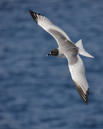 Swallow-tailed Gull (Creagrus furcatus) in flight - Galapagos Islands Standard-Bild