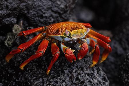 Sally Lightfoot Crab (Graspus graspus) on a volcanic rock - Galapagos Islands 版權商用圖片 - 123168244