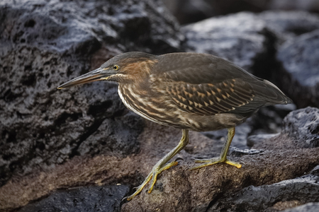 Juvenile Striated Heron (Butorides striata) stalking its prey on a rocky shoreline - Santa Cruz Island, Galapagos 写真素材