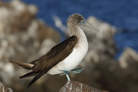 Blue-footed Booby (Sula nebouxii) displaying its brightly colored feet to its mate - North Seymour Island, Galapagos