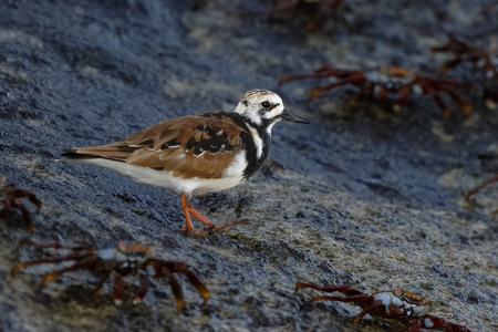 Ruddy Turnstone (Arenaria interpres) foraging on a rocky seashore - Galapagos Islands