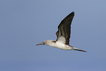 Blue-footed Booby (Sula nebouxii) in flight over Floreana Island - Galapagos 写真素材