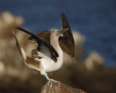 Blue-footed Booby (Sula nebouxii) displaying to its mate - North Seymour Island, Galapagos 写真素材
