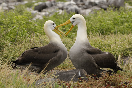 Waved Albatrosses (Phoebastria irrorata) courting on Esopanola Island, their only breeding location in the world - Galapagos