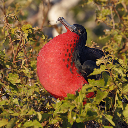 Male Magnificent Frigatebird (Fregata magnificens) displaying its throat pouch - Galapagos Islands Stock Photo