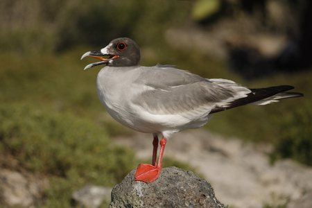 Swallow-tailed Gull (Creagrus furcatus) perched on a rock - Galapagos Islands