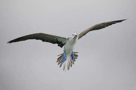 Blue-footed Booby (Sula nebouxii) in flight - Santa Cruz Island, Galapagos
