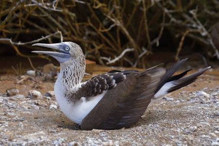 Blue-footed Booby (Sula nebouxii) incubating its single egg - San Cristobal Island, Galapagos