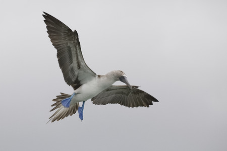 Blue-footed Booby (Sula nebouxii) in flight - Santa Cruz Island, Galapagos