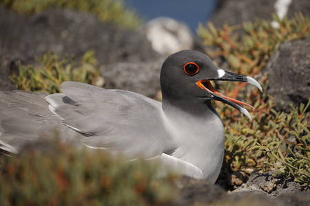 Swallow-tailed Gull (Creagrus furcatus) sitting on its nest - Galapagos Islands