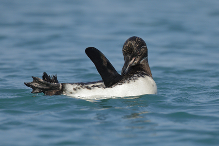 An endangered Galapagos Penguin (Spheniscus mendiculus) preens its feathers off Isabella Island - Galapagos