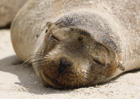 Young Galapagos Sea Lion  (Zalophus wollobaeki) resting on the beach - Galapagos Islands