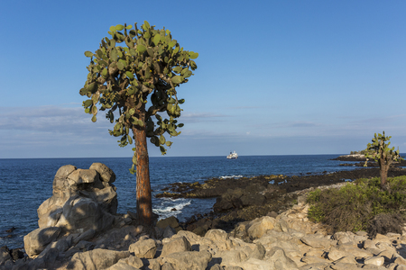 Prickly Pear Cactus Trees (Opunti echios) on South Plaza Island with a small cruise ship offshore - Galapagos Islands National Park