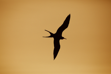 Male Magnificent Frigatebird (Fregata magnificens) in flight - Galapagos Islands