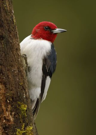 Red-headed Woodpecker (Melanerpes erythrocephalus) on a moss-covered tree stump - Ontario, Canada