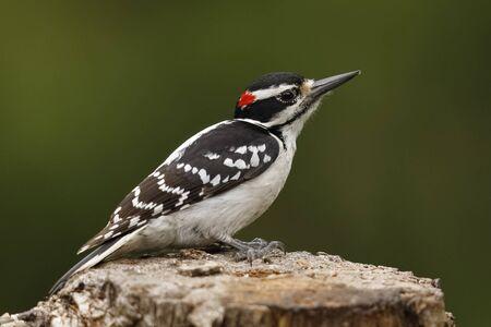 Male Hairy Woodpecker (Dryobates villosus) - Ontario, Canada