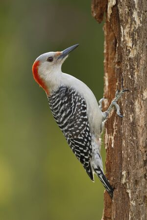 Female Red-bellied Woodpecker (Melanerpes carolinus) - Ontario, Canada 版權商用圖片
