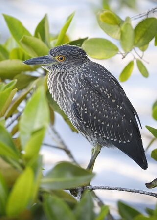 Juvenile Yellow-crowned Night Heron (Nyctanassa violacea) perched in a mangrove tree - Galapagos Islands