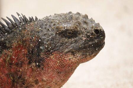 Closeup of a Marine Iguana (Amblyrhynchus cristatus) - Espanola Island, Galapagos 写真素材