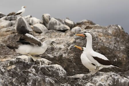 A Nazca Booby chick (Sula granti) begs for food from its parents - Espanola Island, Galapagos