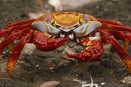 Sally Lightfoot Crab (Graspus graspus) feeding  on some fish bones - Galapagos Islands