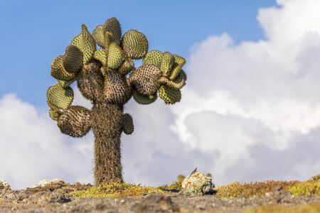 Prickly Pear Cactus Tree (Opuntia echios) and Galapagos Land Lizard - South Plaza, Galapagos Islands