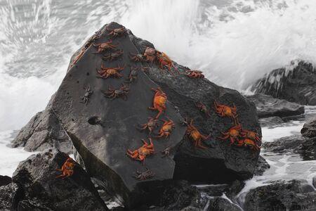 Sally Lightfoot Crabs (Graspus graspus) gathered on a rock - Galapagos Islands