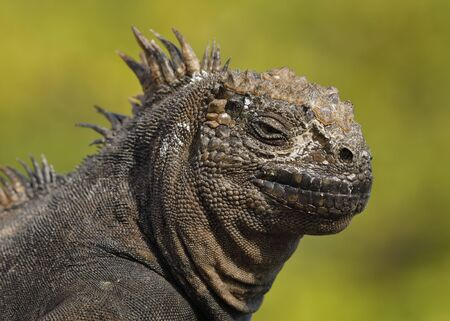 Closeup of a Marine Iguana (Amblyrhynchus cristatus) - Santa Cruz Island, Galapagos Stock Photo