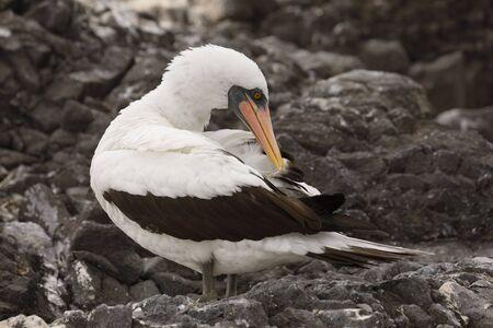 Nazca Booby (Sula granti) preening its feathers on Espanola Island, Galapagos