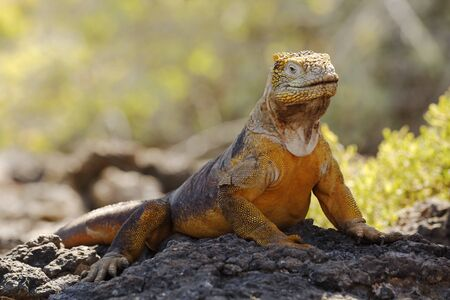 Galapagos Land Iguana (Conolophus subcristatus) basking on a rock