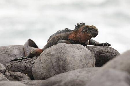 Marine Iguana (Amblyrhynchus cristatus) basking on a rock - Espanola Island, Galapagos