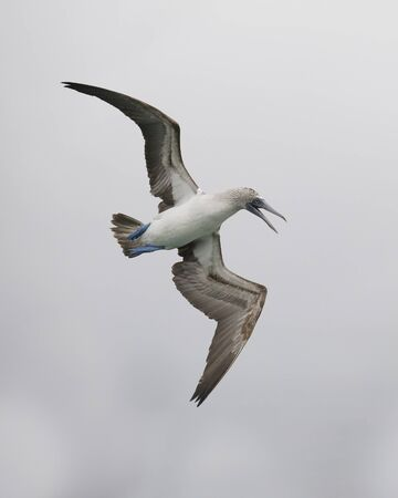 Blue-footed Booby (Sula nebouxii) calling in flight - Galapagos Islands 写真素材