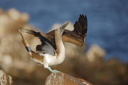 Blue-footed Booby (Sula nebouxii) spreading its wings during courtship display - North Seymour Island, Galapagos
