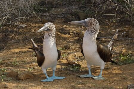 Blue-footed Boobies (Sula nebouxii) exhibiting courtship behaviour - Galapagos Islands 写真素材