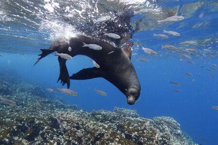 Galapagos Sea Lion (Zalophus wollebaeki) swimming offshore - Floreana Island, Galapagos